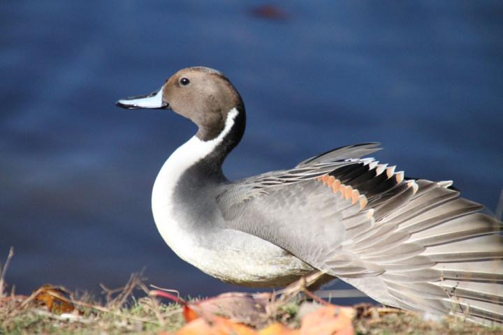 環境省:ガンカモ類の生息調査を調べる: 鳥見風来坊